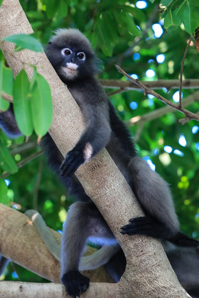 Spectacled Langur, Railay Beach, Thailand