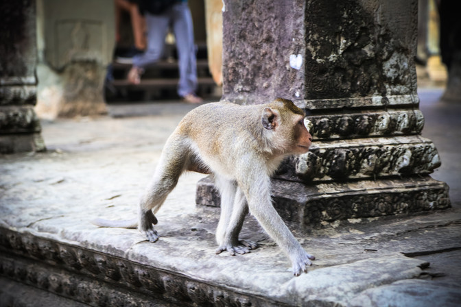 Monkey, Angkor Wat, Cambodia
