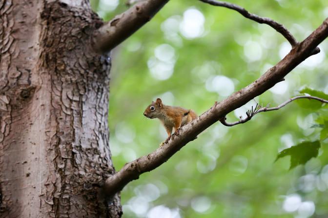 Squirrel, Halifax, Nova Scotia, Canada