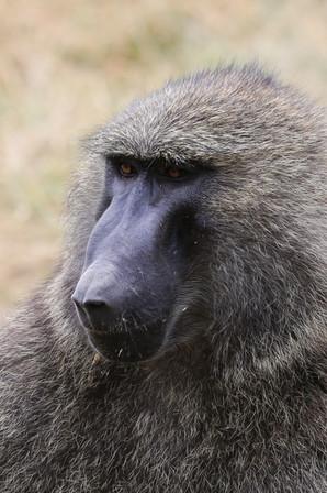 Baboon, Kenya