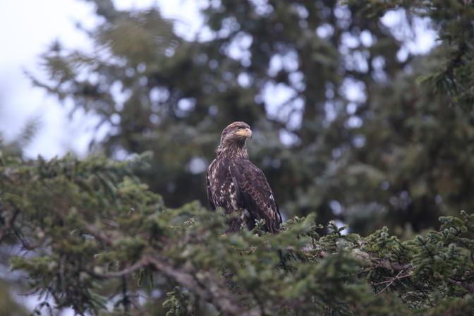 Immature Bald Eagle, Orca, Ucluelet, Vancouver Island, BC, Canada