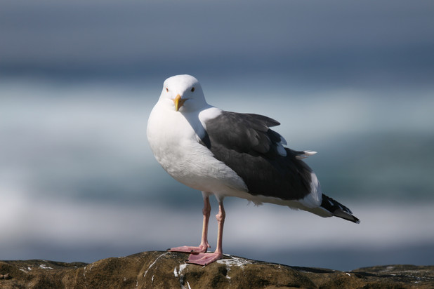 Seagull, White Rock, BC, Canada