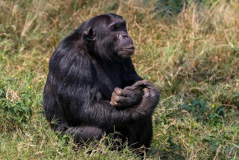 Chimpanzee, Ngamba Island, Uganda
