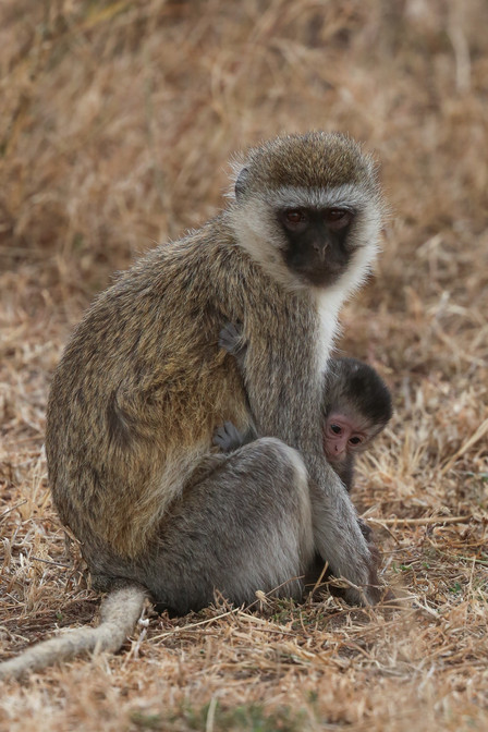 Vervet Monkeys, Serengeti, Tanzania