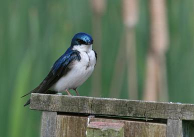 Tree Swallow, BC, Canada