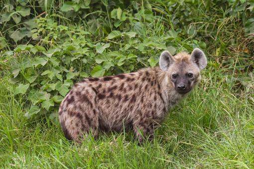 Hyena, Kenya