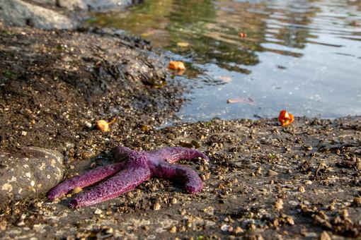 starfish, Galiano Island, BC, Canada