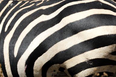 Zebra, Ngorongoro Crater, Tanzania