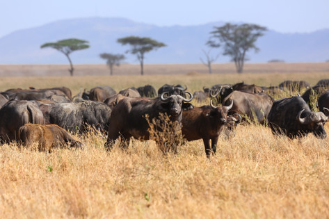 Wildebeest, Tanzania