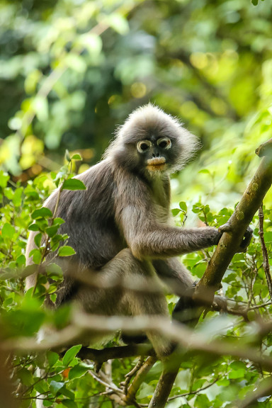 Spectacled Langur (Dusky Leaf Monkey), Railay Beach, Thailand
