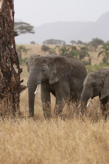 Elephant, Tanzania