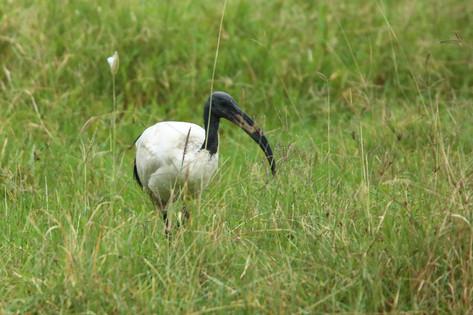 Sacred Ibis, Lake Nakuru, Kenya