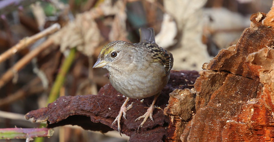 Gold-Crowned Sparrow, BC, Canada