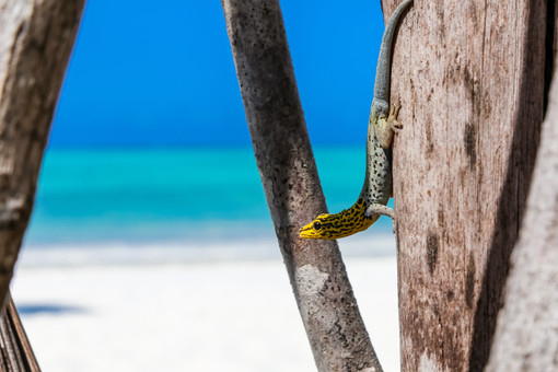Yellow Headed Dwarf Gecko, Jambiani, Zanzibar