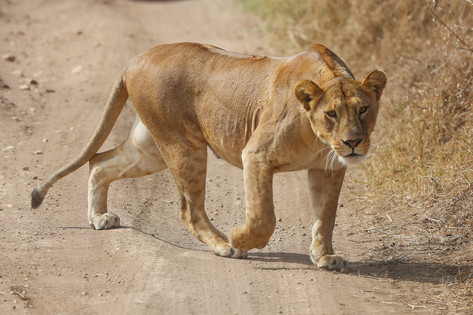 Lion, Tanzania