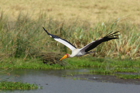 Yellow Billed Stork, Ngorongoro Crater, Tanzania
