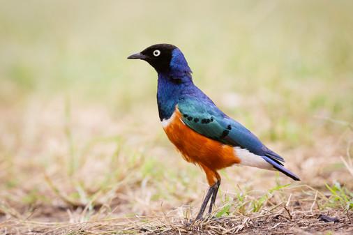 Superb Starling, Kenya
