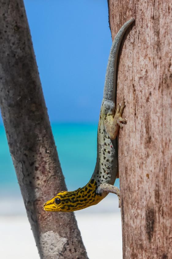 Yellow Headed Dwarf Gecko, Jambiani, Zanzibar