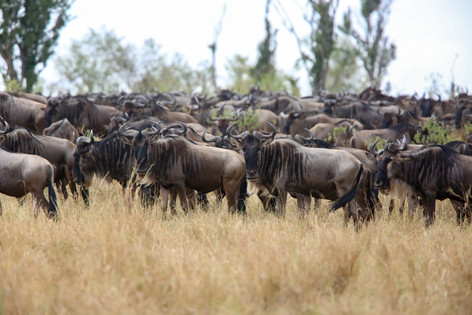 Wildebeest, Kenya