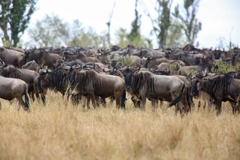 Wildebeest, Kenya
