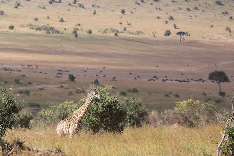Giraffe, Kenya
