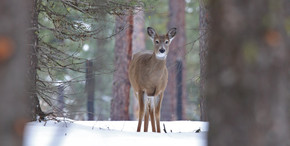 White Tailed Deer, USA