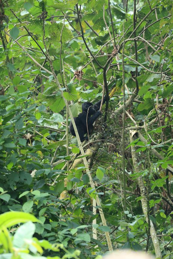 Mountin Gorilla, Bwindi Impenetrable Forest, Uganda