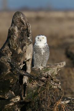 Snowy Owl, BC, Canada