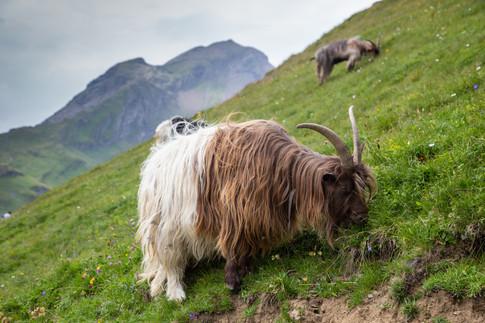 Goats, Grindelwald, Switzerland