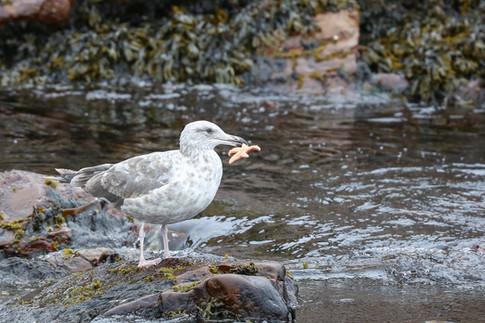 Seagull with catch, Newfoundland, Canada