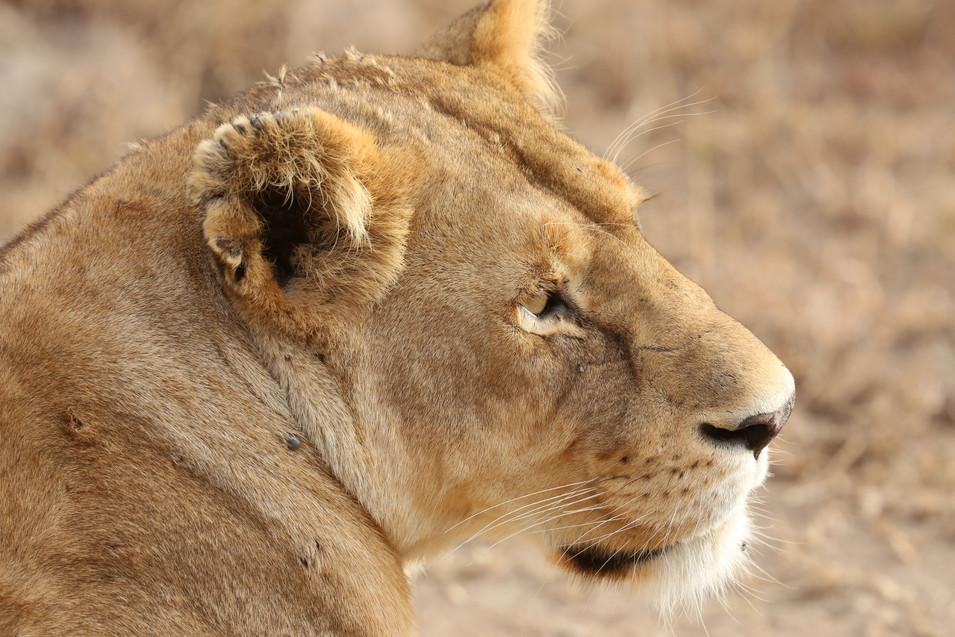 Lion, Ngorongoro Crater, Tanzania