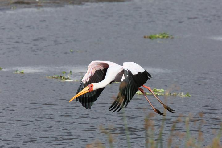 Yellow Billed Stork, Ngorongoro Crater, Tanzania