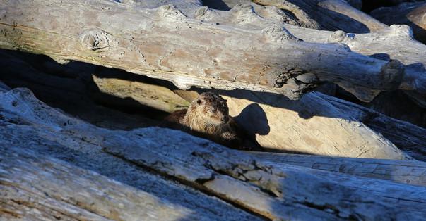 Otter, Horny Island, BC, Canada