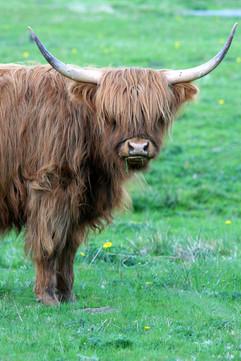 Highland Cow, BC, Canada