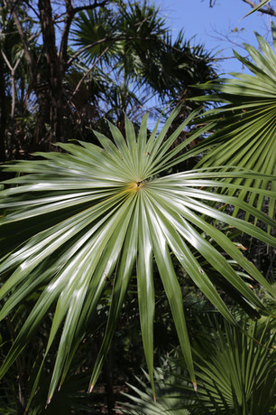 Palm, Tulum, Mexico