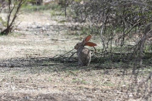 Jack Rabbit, Saguaro National Park, Arizona, USA