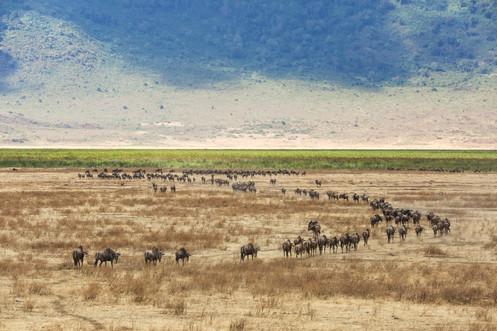Wildebeest migration, Ngorongoro Crater, Tanzania