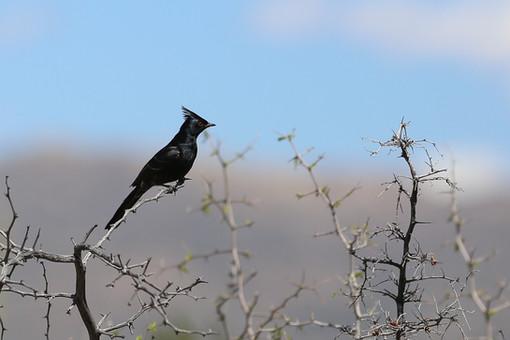 Phainopepla Phainopepla nitens, Saguaro National Park, Arizona, USA
