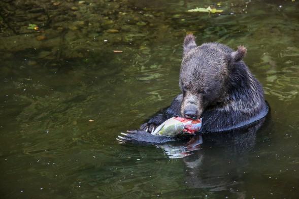 Grizzly Bear, Great Bear Rainforest, BC, Canada