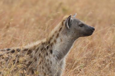 Hyena, Tanzania