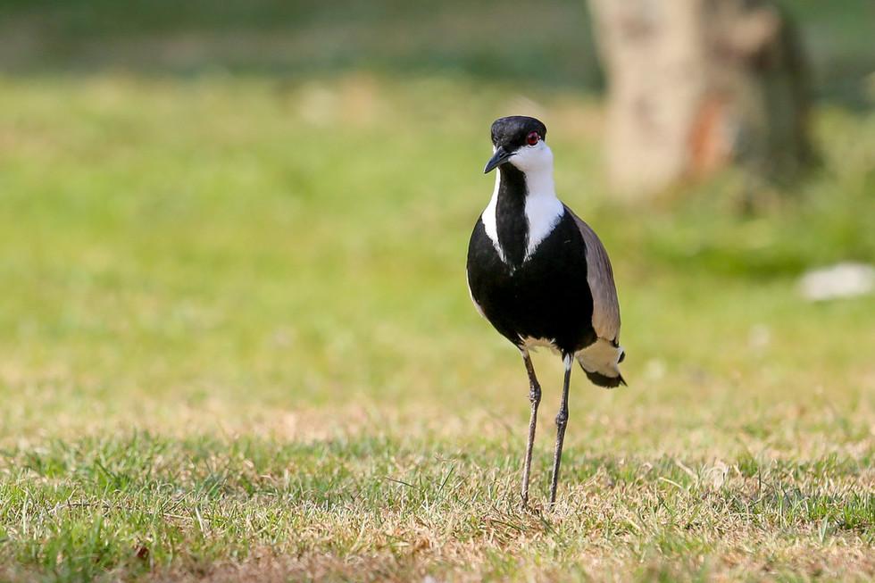 Spur Winged Plover, Ngamba Island, Uganda