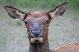 Elk, Rocky Mountains, Canada