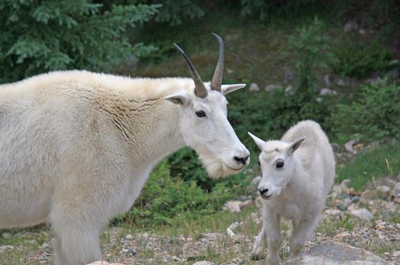 Mountain Goat, Rocky Mountains, Canada