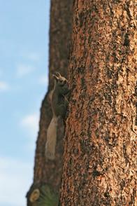 Kaibab Squirrel, Arizona, USA