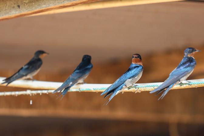 Blue Swallow, Ngamba Island, Uganda