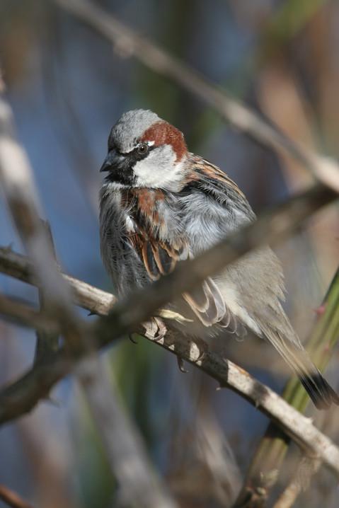 House Sparrow, BC, Canada