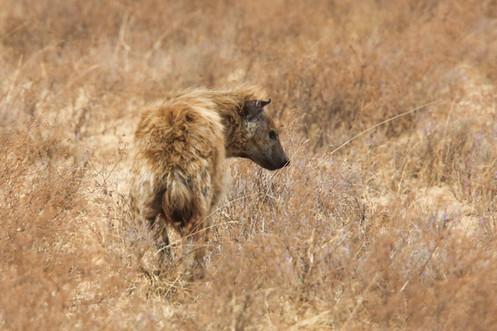 Hyena, Ngorongoro Crater, Tanzania