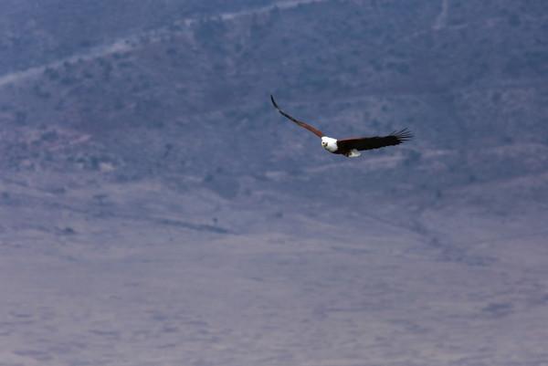 Fish Eagle, Ngorongoro Crater, Tanzania