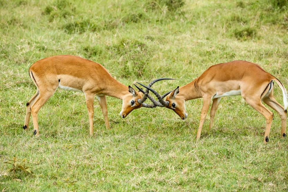 Grant's Gazelle, Lake Nakuru, Kenya