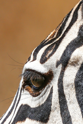 Zebra, Tanzania